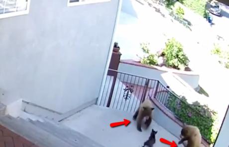צפו בכלב בולדוג קטן מבריח דובים שנכנסו לשטח הבית הפרטי של בעליו. אני גם רוצה כזה!