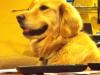 הכלב מתעצבן שמפסיקים לנגן לו מוזיקה – קורע!