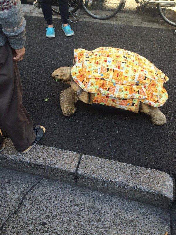 mitani-hisao-wakls-his-tortoise-around-tokyo-1