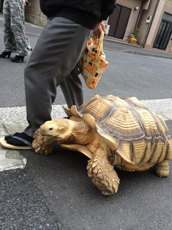 mitani-hisao-wakls-his-tortoise-around-tokyo-3