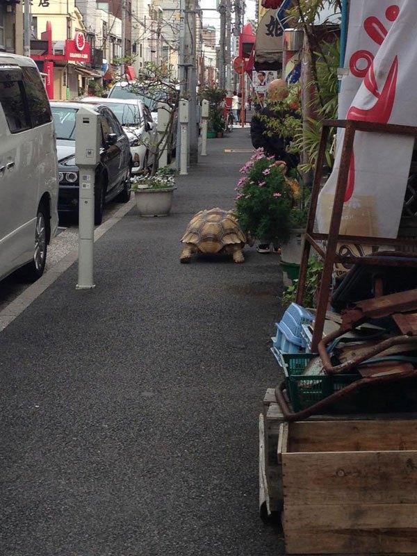 mitani-hisao-wakls-his-tortoise-around-tokyo-5