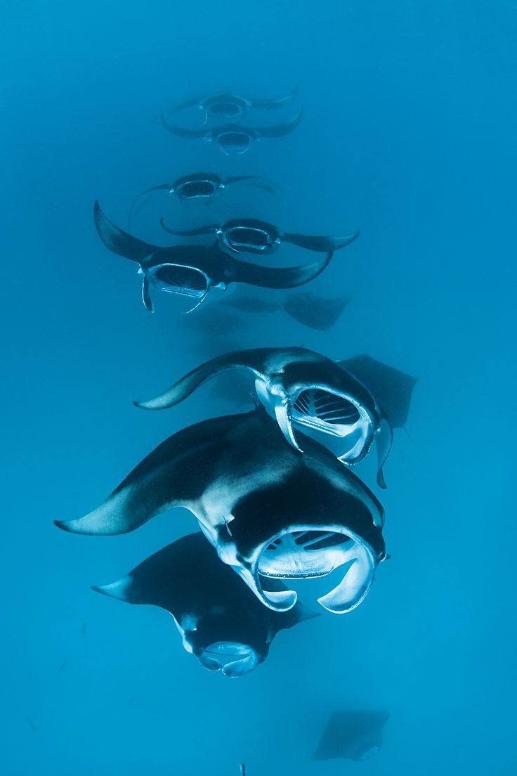 reef manta rays, Manta alfredi, formerly Manta birostris  , chain feeding on plankton, Hanifaru Bay, Baa Atoll, Maldives,  Indian Ocean   SCD0214_Top100_Pacific