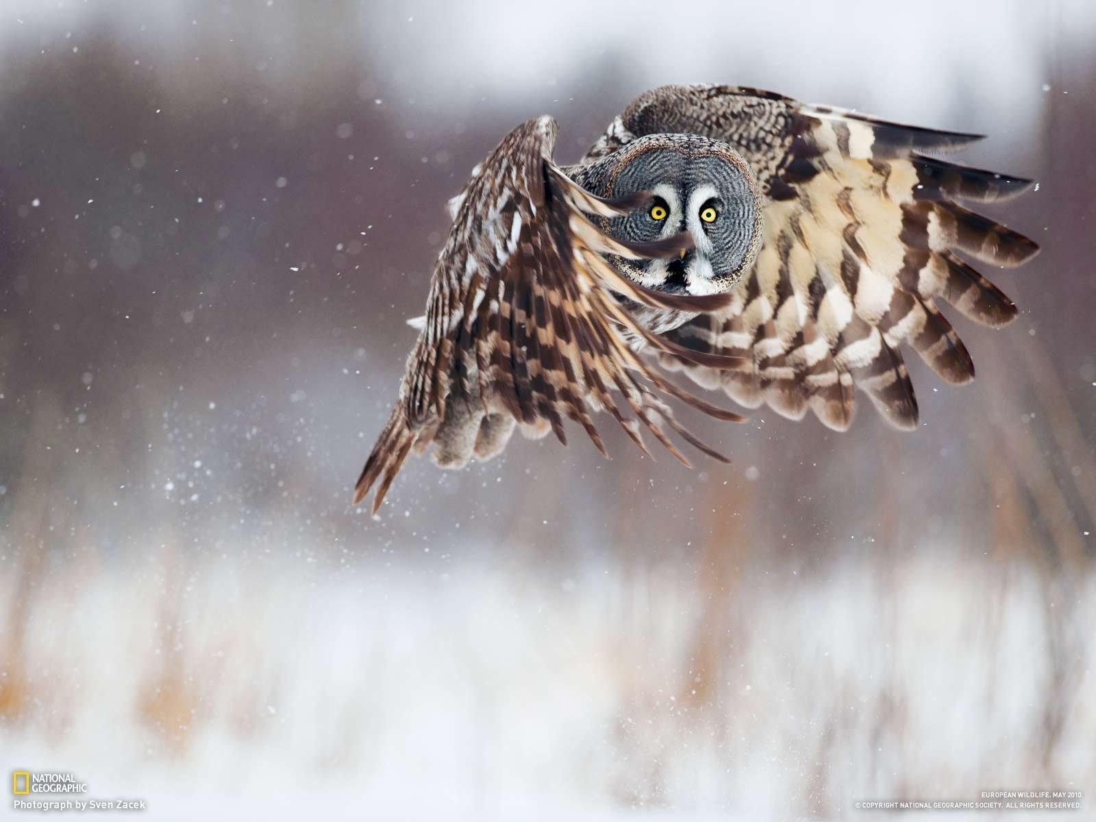ינשוף מעופף בשלג