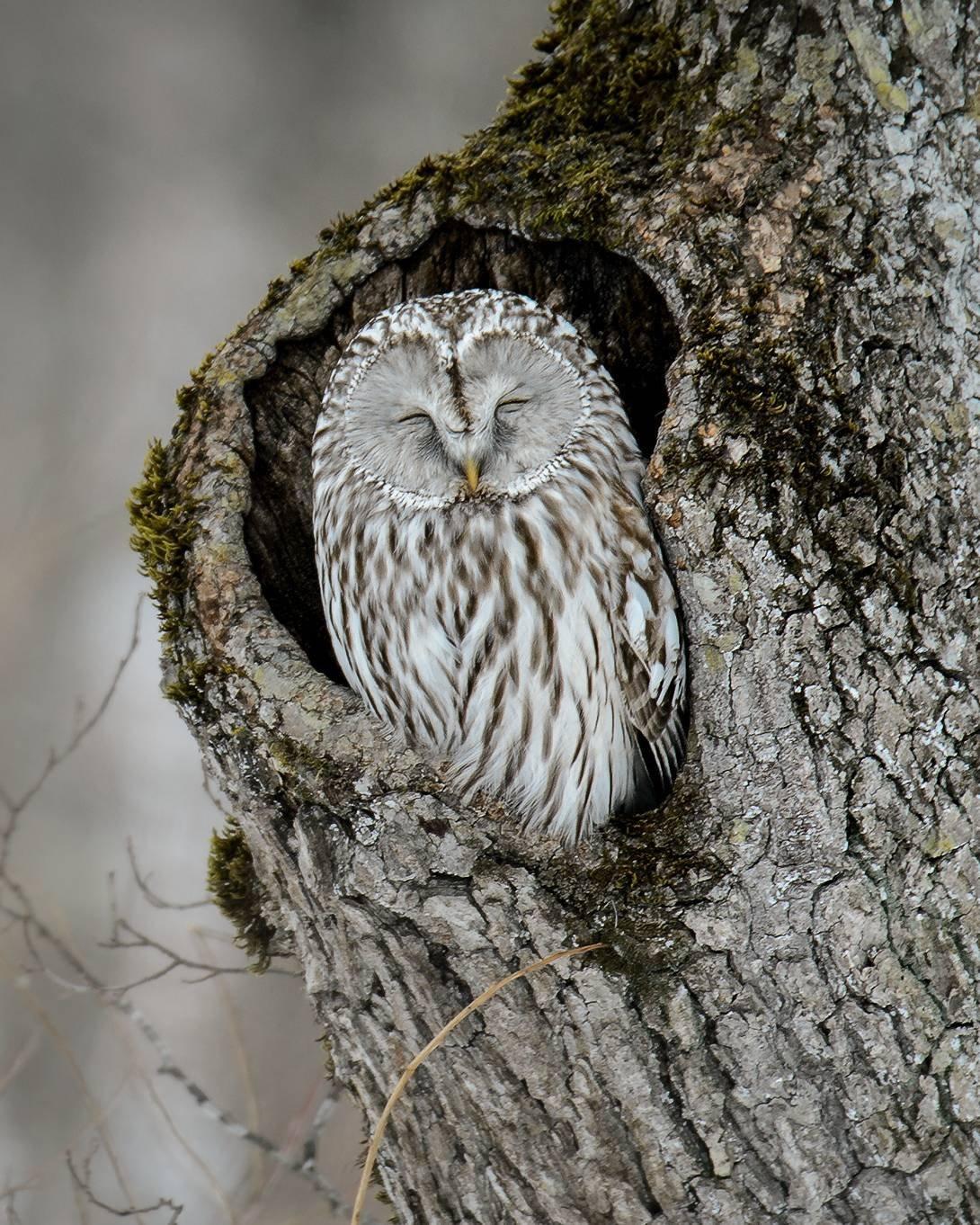 ינשוף ישן בעץ