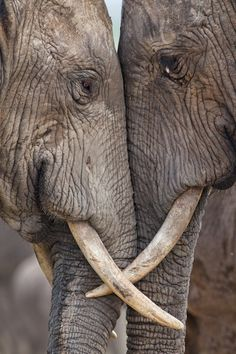 Two adult elephants (Loxodonta africana) interacting at Hapoor Dam in Addo Elephant National Park, South Africa