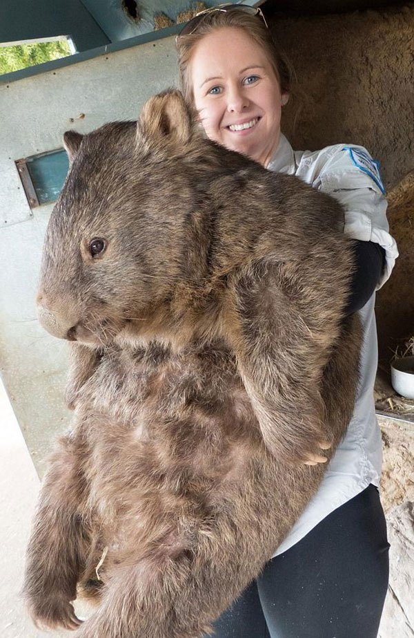 patrick-the-oldest-and-largest-living-wombat-1