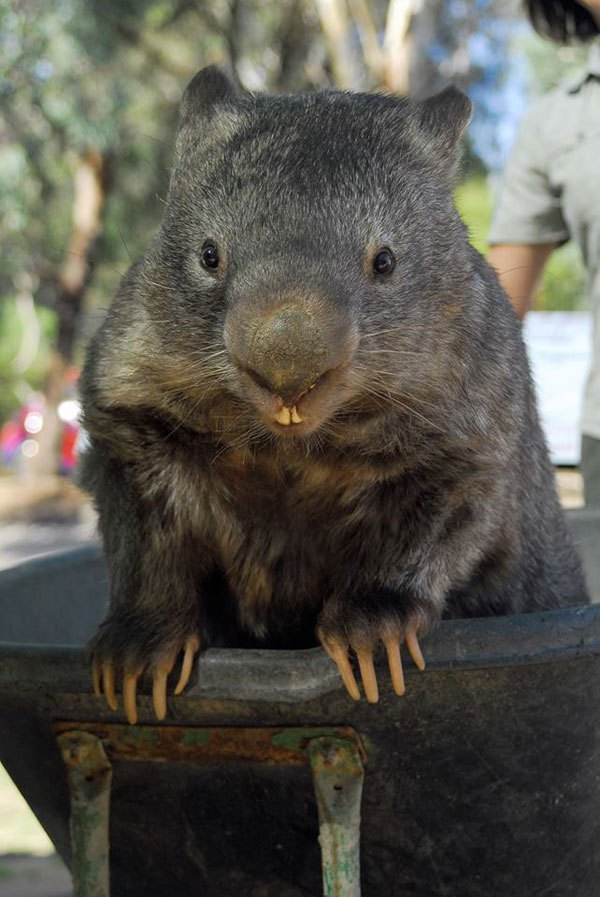 patrick-the-oldest-and-largest-living-wombat-2