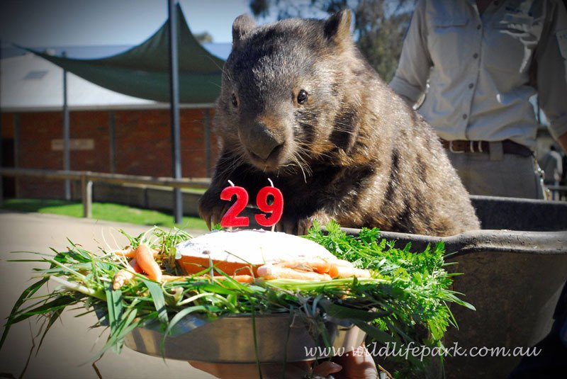 patrick-the-oldest-and-largest-living-wombat-3