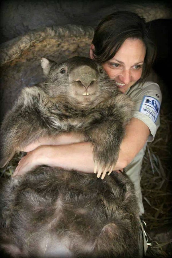 patrick-the-oldest-and-largest-living-wombat-5