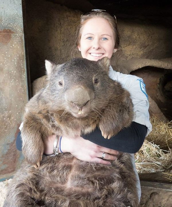 patrick-the-oldest-and-largest-living-wombat-7