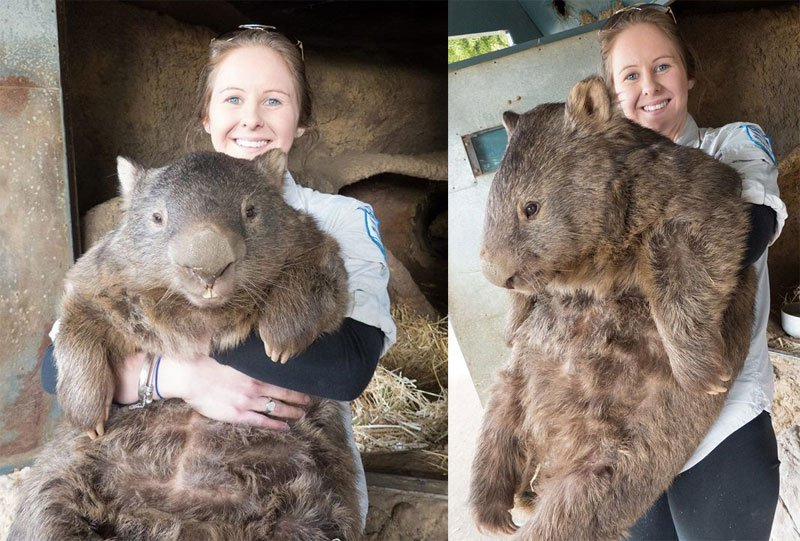 patrick-the-oldest-and-largest-living-wombat-8