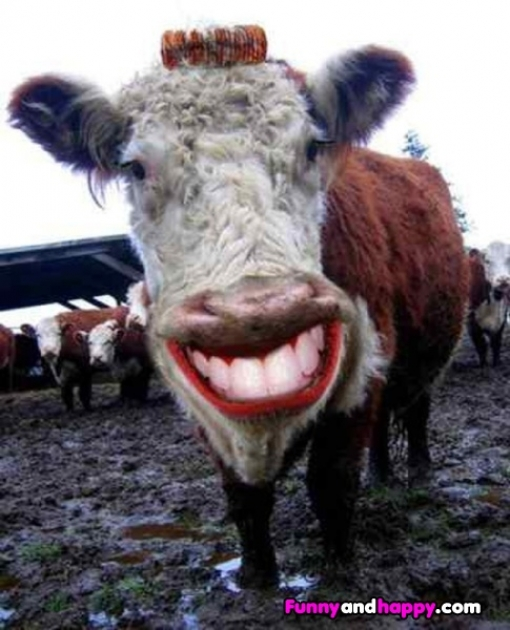 510x510_funny-cow-keeping-smiling
