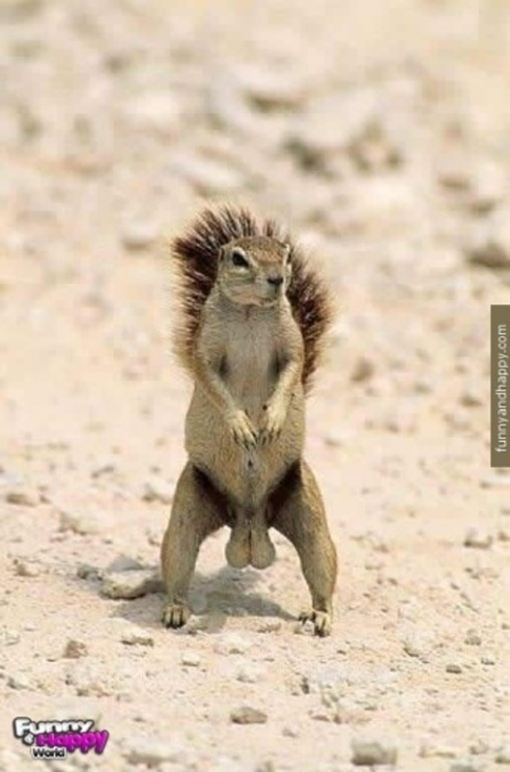 510x510_funny-squirrel-with-big-balls