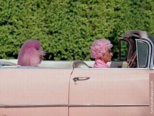 510x510_pink-grandmother-pink-car-pink-dog