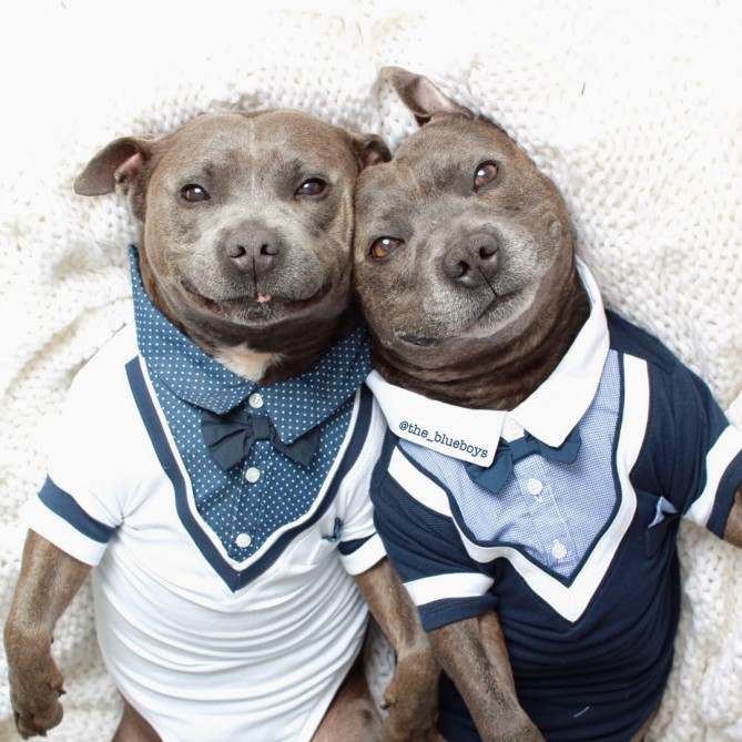 cute-dog-brothers-staffie-pit-bull-terriers-blueboys-74-669x669