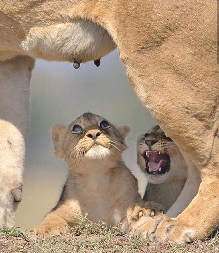דור אריות באפריקה