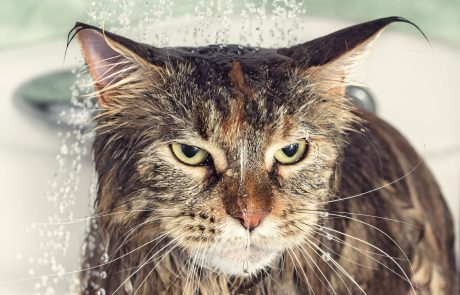 למה חתולים לא אוהבים מים