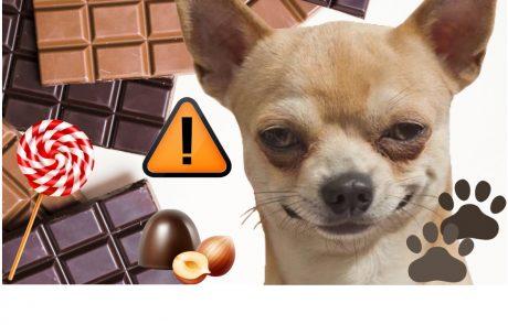 מה קורה לכלבים אם הם אוכלים שוקולד?