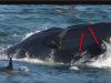 אדם נבלע על ידי לוויתן ונשאר בחיים