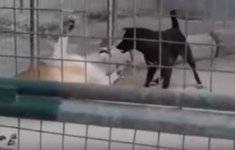 האם כלב יכול לנצח אריה ב- Knock Out תוך שניה? לראות ולא להאמין!