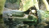 turtle-riding-crocodile1